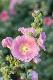 Fleur de rose trémière Image libre de droits