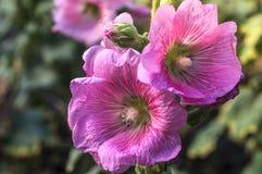 Fleur de rose trémière Images stock