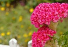 Fleur de rouge de crête Photos stock