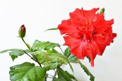 Fleur de rouge de ketmie Image stock