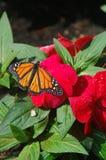 Fleur de rouge de monarque Photo stock