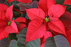 Fleur de rouge de poinsettia Photos libres de droits