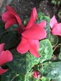 Fleur de rougissement image stock