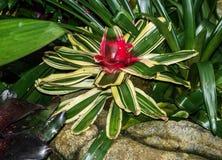 Fleur de rougissement de Neoregelia Carolinae de bromélia photographie stock