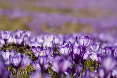 Fleur de safran Photo stock
