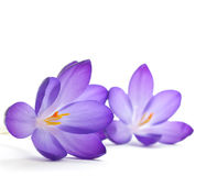 Fleur de safran images stock