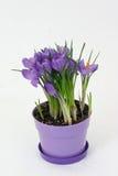 Fleur de safran Images libres de droits