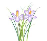 Fleur de safran Photos stock