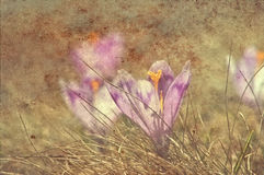 Fleur de safran de cru photos libres de droits