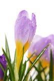Fleur de safran de source avec des gouttelettes d'eau images stock