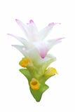 Fleur de safran des indes Images libres de droits