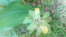 Fleur de fleur de safran des indes parfois en été Images stock