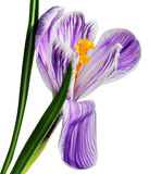 Fleur de safran pourpré Photographie stock libre de droits