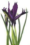 Fleur de safran, printemps Images libres de droits
