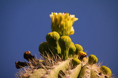 Fleur de Saguaro images libres de droits