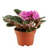 Fleur de Saintpaulia dans le flowerpot Photo stock