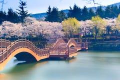 Saison de fleurs de cerisier en Corée photographie stock libre de droits