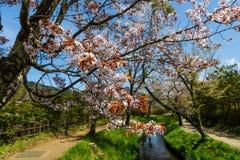 fleur de Sakura au village d'Oshino Hakkai images libres de droits