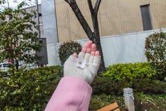 Fleur de Sakura chez la main de la femme avec le fond de jardin Photographie stock libre de droits