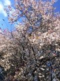 fleur de Sakura de ressort Image libre de droits
