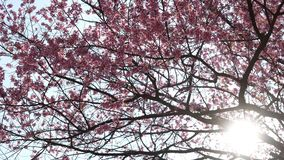 Fleur de Sakura sur l'arbre avec la lumière du soleil banque de vidéos