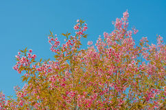 Fleur de Sakura sur le fond de ciel bleu Photographie stock libre de droits