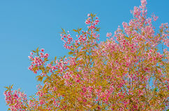 Fleur de Sakura sur le fond de ciel bleu Image libre de droits