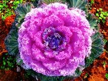 Fleur de Salat pour des copies de beaux-arts de papier peint de fond de décoration photographie stock libre de droits