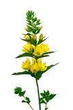 Fleur de salicaire d'isolat sur un fond blanc Photographie stock