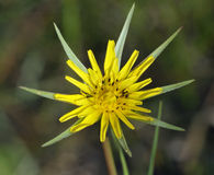 Fleur de salsifis Image libre de droits