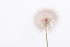 Fleur de salsifis Photos stock