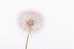 Fleur de salsifis Image stock