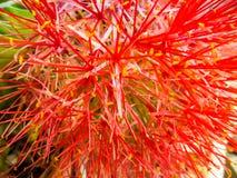 Fleur de sang, souffle de poudre lilly photos libres de droits