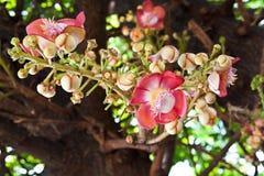 Fleur de Sara Bouddha Images stock
