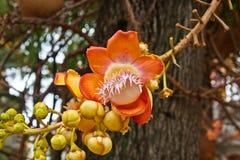 Fleur de Sara Bouddha photographie stock