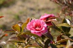 Fleur de sasanqua Photo libre de droits