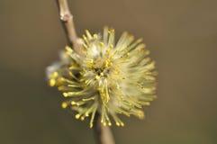 Fleur de saule Image libre de droits