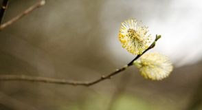 Fleur de saule images libres de droits