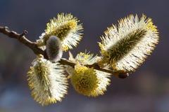 Fleur de saule Photo libre de droits