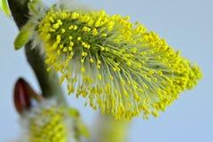 Fleur de saule au printemps photos stock