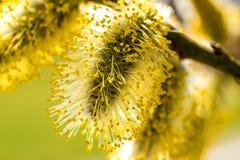Fleur de saule au printemps photographie stock