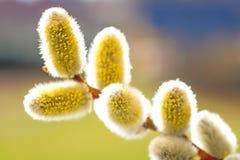 Fleur de saule dans un plan rapproché photographie stock