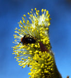 Fleur de saule de chèvre Image stock