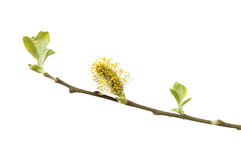Fleur de saule de chat Image libre de droits