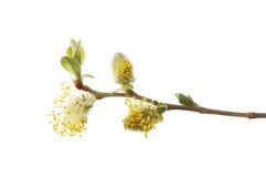 Fleur de saule de chat Image stock