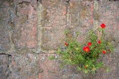 Fleur de saxifrage développée dans la couture du vieux mur en pierre images stock