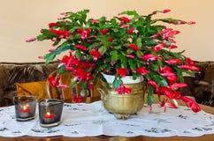 Fleur de Schlumbergera sur la table Photographie stock libre de droits