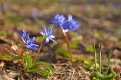 Fleur de Scilla Bifolia Photos libres de droits