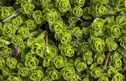 Fleur de sedum Images stock