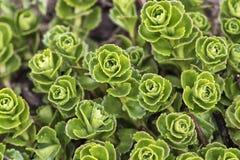 Fleur de sedum dans un jardin Photos libres de droits